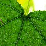 sdfp green leaf