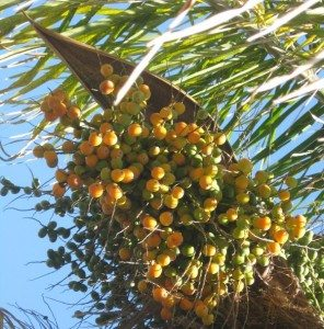 palm nuts mature