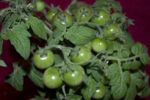 tomato-377104_640