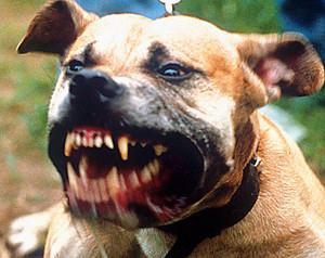 vicious_pitbull