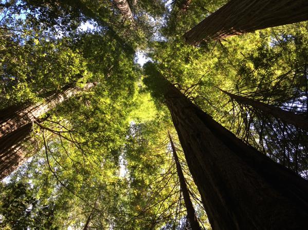 redwood1a