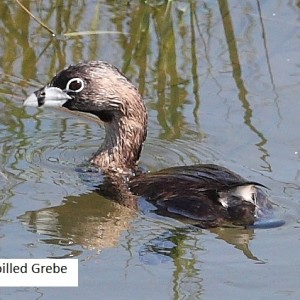 Pied-billed Grebe creek is a fall migrant that arrived in August before its breeding plumage disappeared.