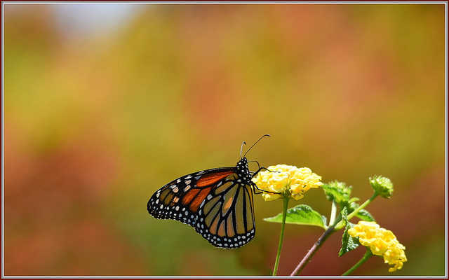 Monarch butterfly on lantana blossoms