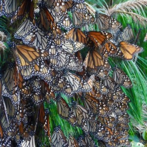 Monarchs Help Solve Their Own Mystery