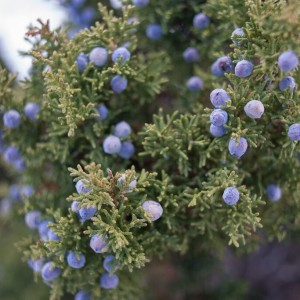 The Language of Pinyon-Juniper Trees