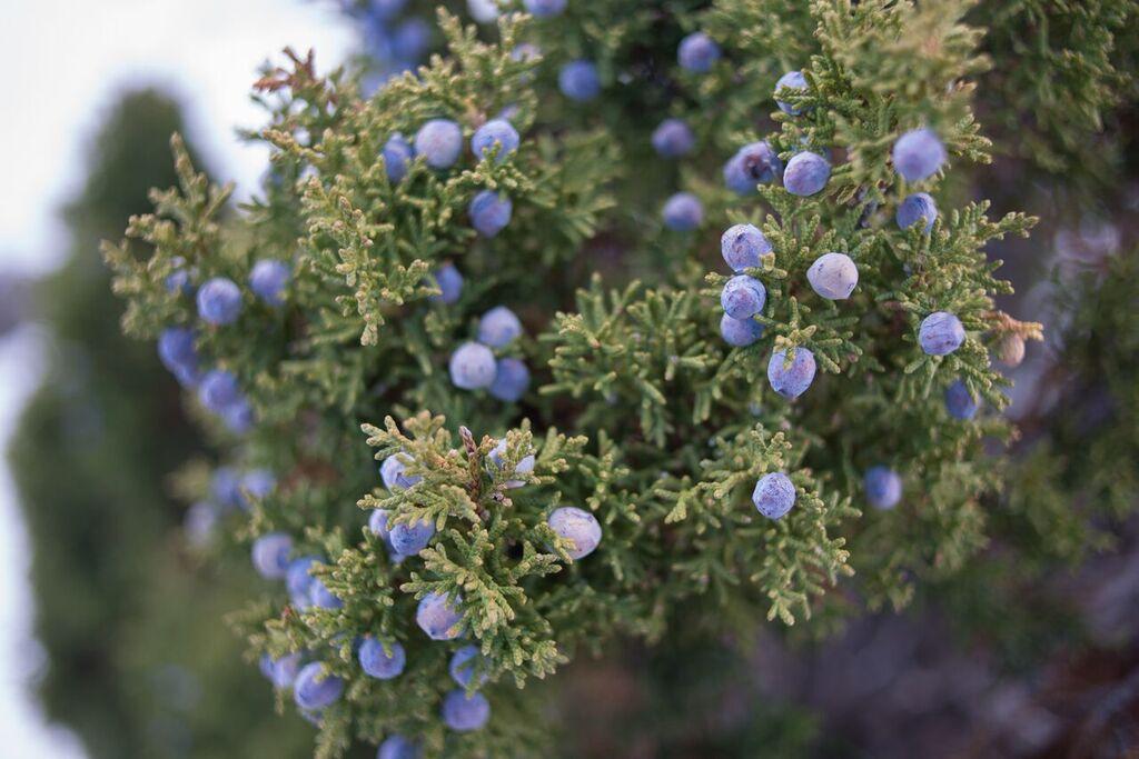 the language of pinyon juniper trees san diego free press