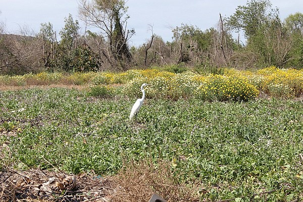 White heron in field at the Tijuana River Valley Community Garden
